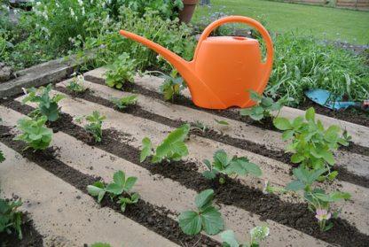Fraisiers bio AB Demeter Plants de fraises Bioling 3
