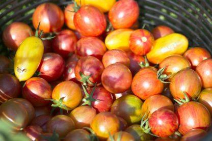 Plants de tomates et tomates cerises Bioling 11 bio AB et Demeter Variétés anciennes