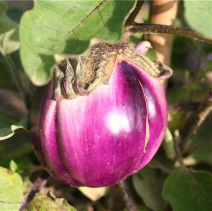 aubergine ronde de valence Plants bio bioling