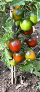 Plants bio tomates variétés anciennes La Ferme Bioling
