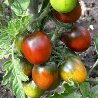 Tomates cerises Bioling