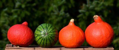 Plants de courges potirons citrrouilles variétés anciennes bio Demeter Bioling 7