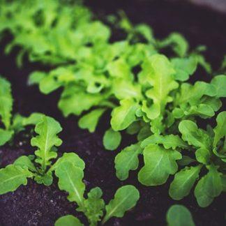 Plants de salades variétés anciennes bio Demeter Bioling