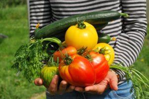 Tomates anciennes pépinière de variétés anciennes bio Demeter Bioling 4