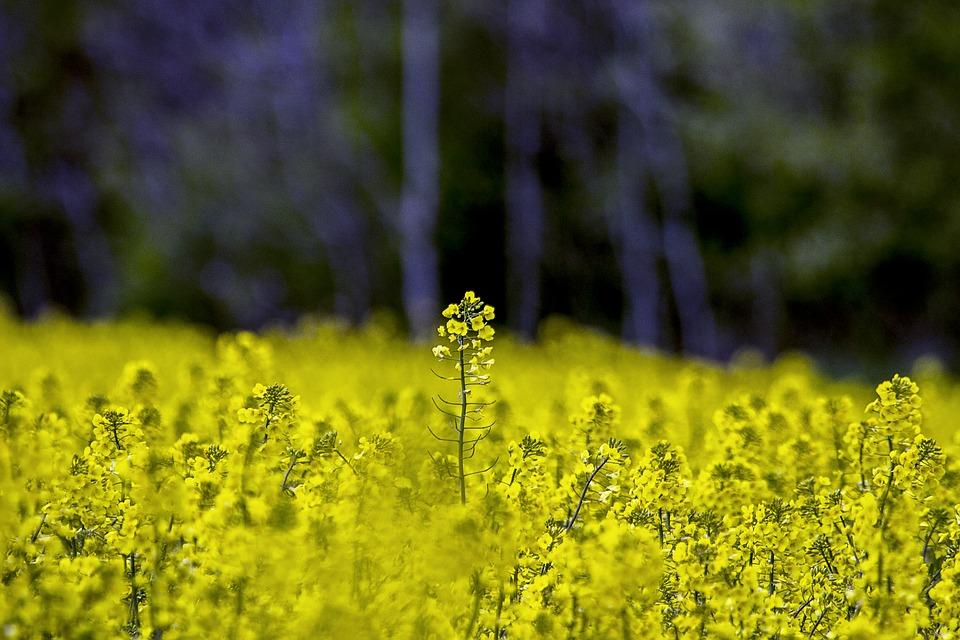engrais verts pépinière de variétés anciennes bio Demeter Bioling 3