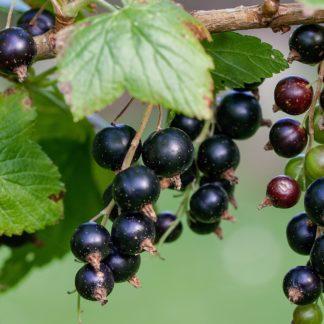 cassissier cassis fruits rouges pour envie de fraises et confiture tomates anciennes pépinière de variétés anciennes bio plants Demeter Bioling