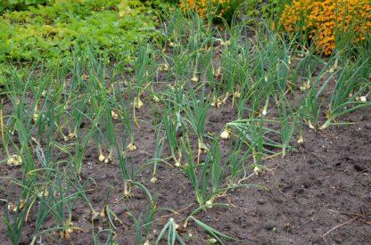 Poireaux tomates anciennes pépinière de variétés anciennes bio plants Demeter Bioling2