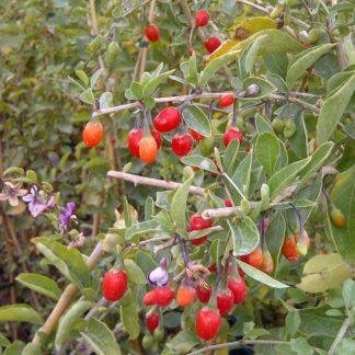 baies de goji tomates anciennes pépinière de variétés anciennes bio plants Demeter Bioling